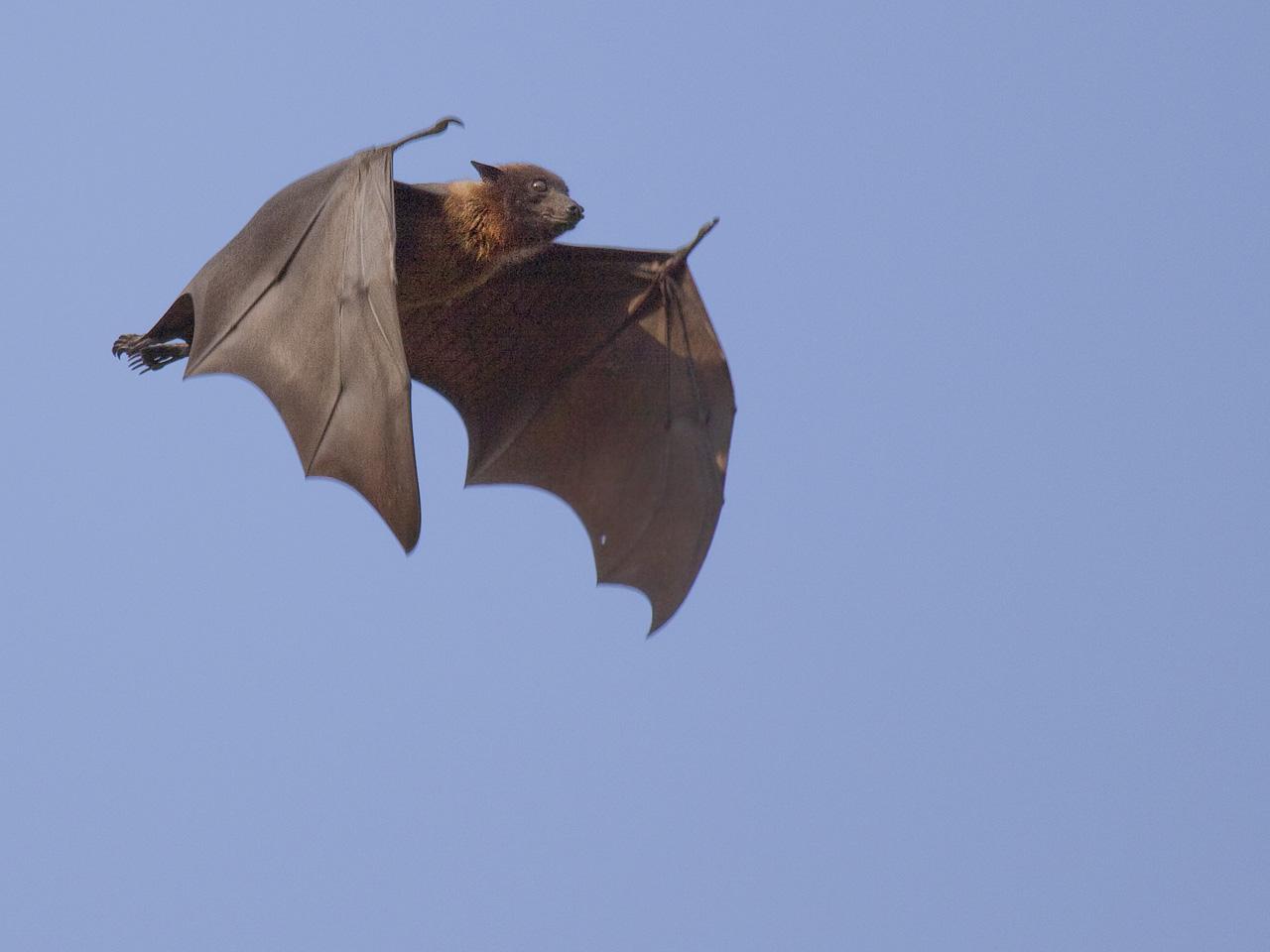 flyingfox